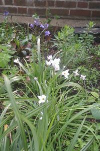wild_garlic_and_bluebell